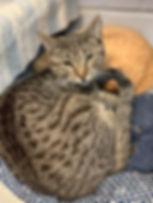 Tabby cat Stormy