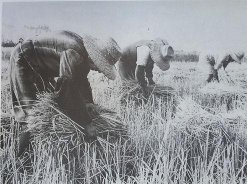 La legatura dei covoni di riso