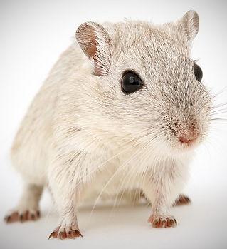 rat-1238239_640_edited_edited.jpg