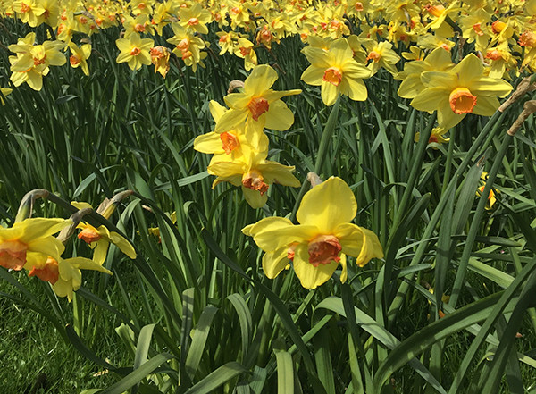 Spring daffodils in the Peak District