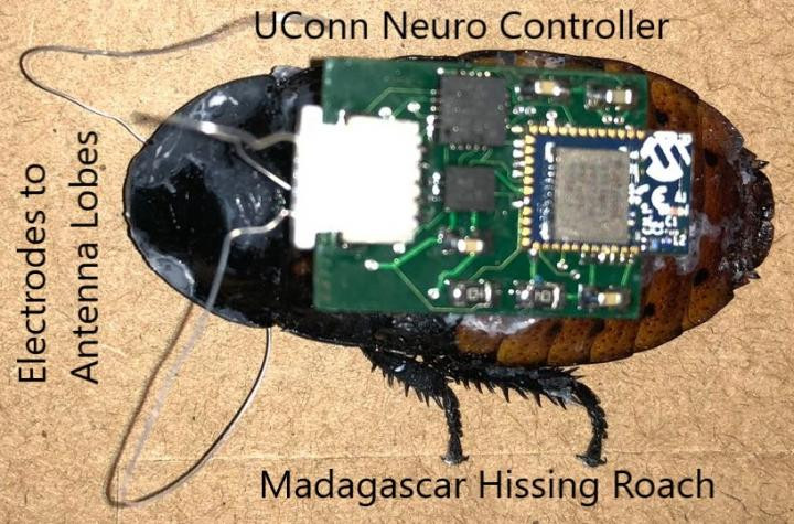 A tiny neuro controller developed by researchers at the University of Connecticut could provide more precise operation of micro biorobots, such as those being tested on 'cyborg' cockroaches for possible use in search and rescue missions inside collapsed buildings. @ Abhishek Dutta/UConn.