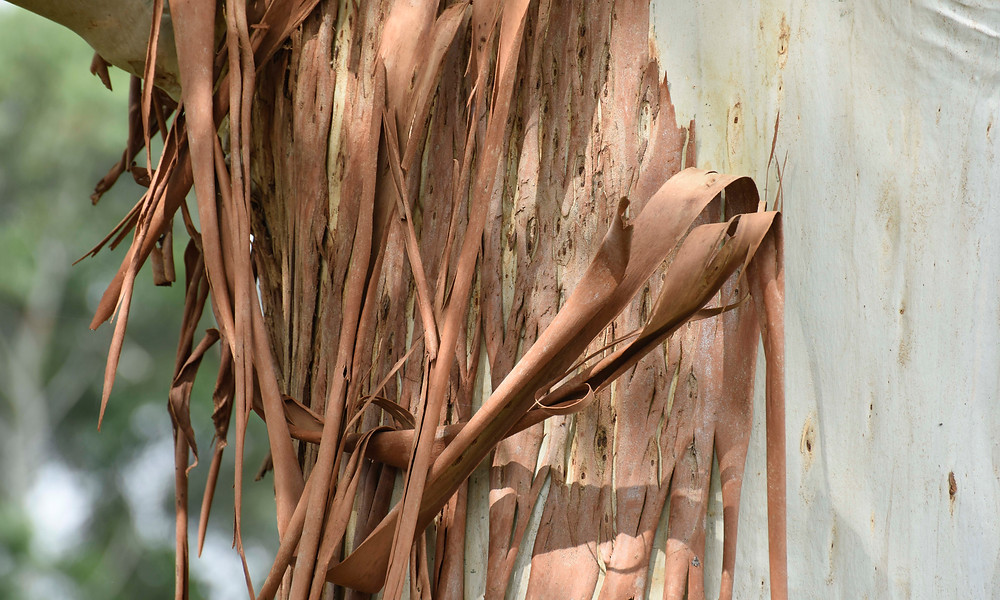Eucalyptus bark extract has never been used to synthesise graphene sheets before. @ RMIT