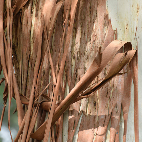 Branching out: Making graphene from gum trees