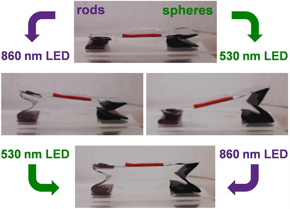 A wavelength-controlled stage with accordion legs containing gold nanorods (left) and gold nanospheres (right). The sequence of illumination by light-emitting diodes (LEDs) positioned next to each leg (not shown in photographs) remotely controls the tilt angle and height of the stage. @ Sumeet Mishra