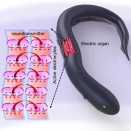 Bionic underwater nanogenerator takes cues from electric eels