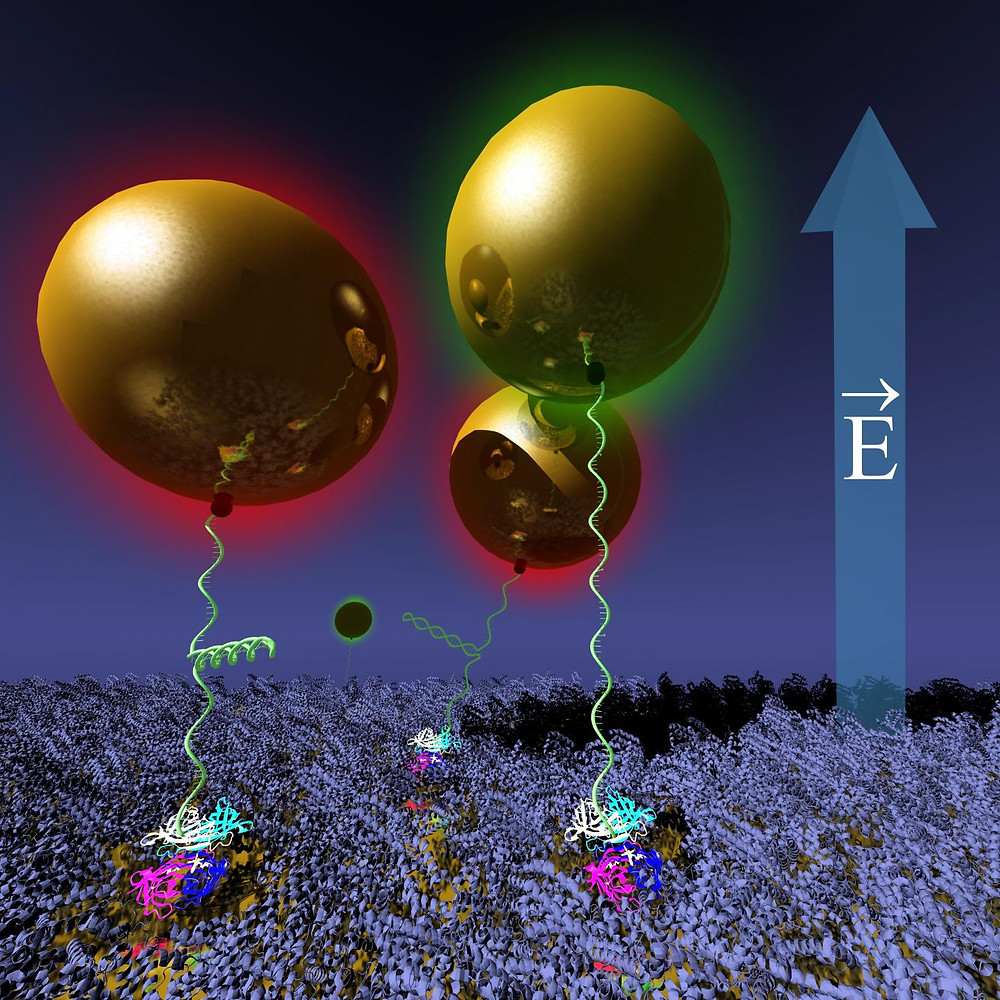 Gold nanoparticles tethered on a BSA-protein-protected gold surface via hairpin-DNA are moved reversibly using electric fields, while monitoring their position and DNA conformation optically via changes of its plasmon resonance (by color). @ Jussi Toppari