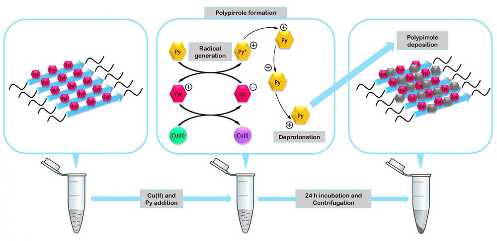 The peptides assemble to form miniature enzymes capable of acting as catalysts in the formation of nanomaterials such as the conductive polymer polypyrrole. @ IBB-UAB