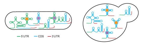 Known and new RNA sensors are found in bacteria and fungi, expanding our understanding of RNA-based gene regulation @ A*STAR's Genome Institute of Singapore