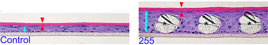 The epidermal-equivalent models generated from epidermal cells with (right) or without (left) a basal layer made of polyester mesh. Living layers are indicated by blue arrows and stratum corneum by red arrows. Asterisks indicate cross sections of polyester fibers. Scale bars = 50 μm @ Kumamoto J. et al., Scientific Reports, December 20, 2018