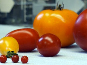 Get Ready to Harvest Tomatoes!