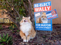Wally the neighborhood poses with his campaign sign which includes a smear of his fellow candidate Betty while spending time outside a home along 55th Street in Oakland, Calif. Thursday, October 22, 2020. Wally is the incumbent candidate in the race for Mayor of 55th Street in Oakland which consists of three other furry friends running for the seat.
