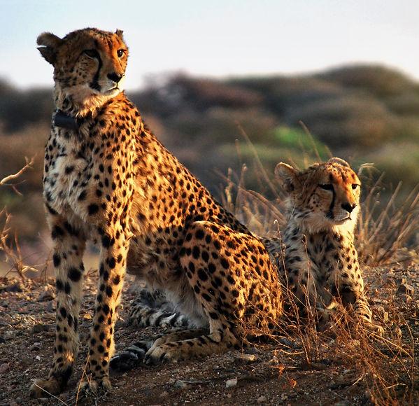 Gepard1_crop.jpg