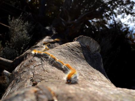 Les chenilles processionnaires : un fléau pour nos forêts