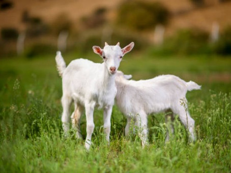 What benefits does goat's milk soap with honey bring to our skin?