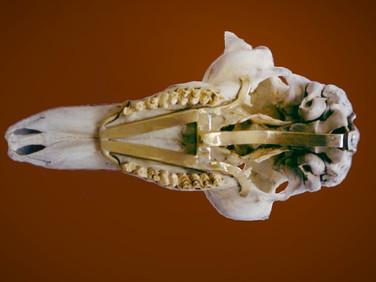 Detail - Skull Mount