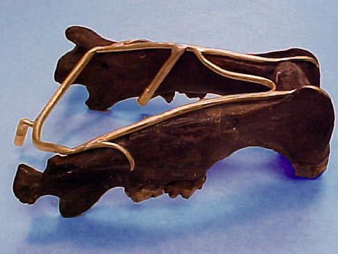 Detail -- Saber Tooth Mandible Mount