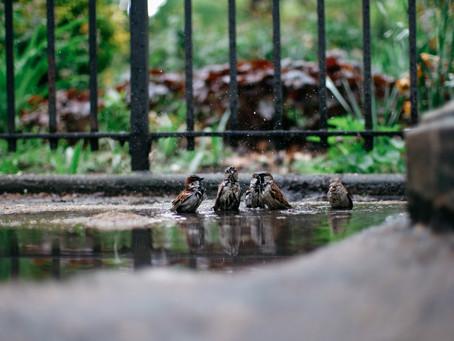 The brown birds in Manhattan