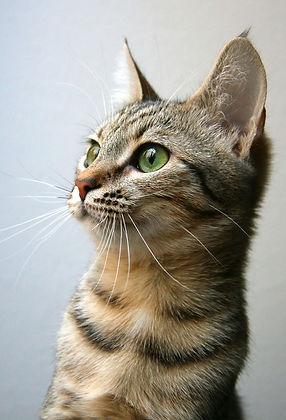 rescue-cat-kitten.jpg