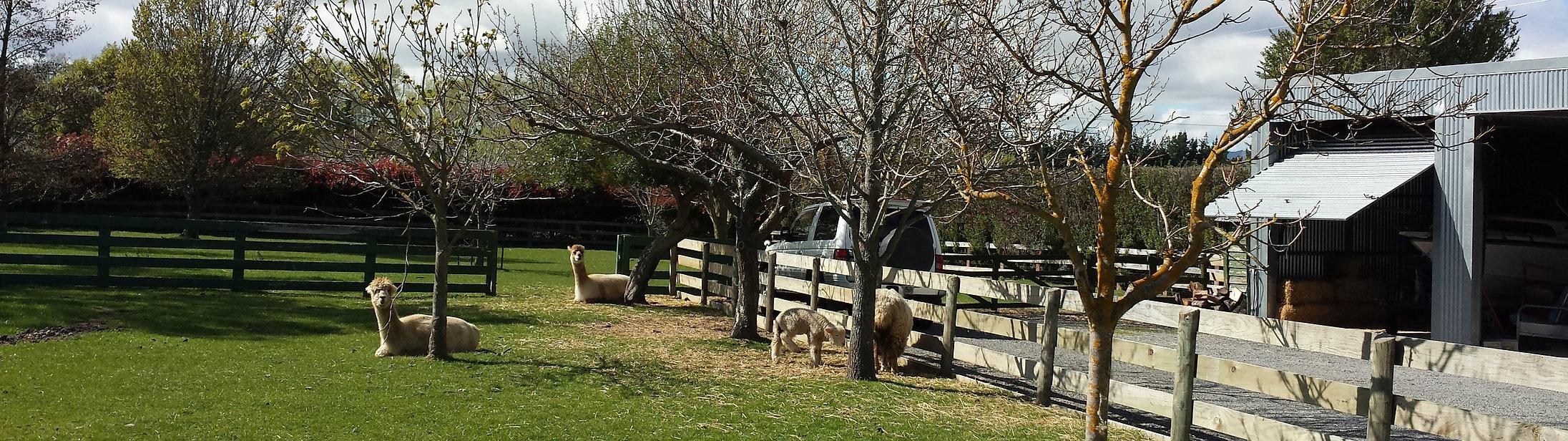 Alpacas in a farm paddock amongst trees beside farm buildings