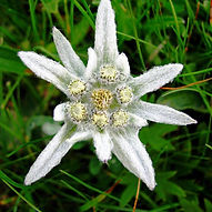 edelweiss extract.jpg