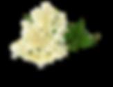 gebuesch_elderberry_02.png