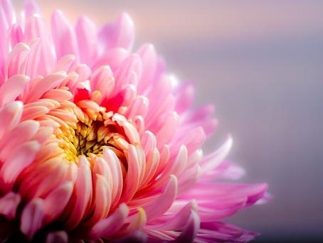 Énergie - chrysanthème