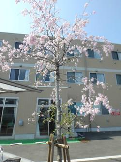 綺麗に桜が咲きました。