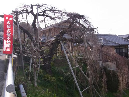 百滝桜(3/18開花の様子)