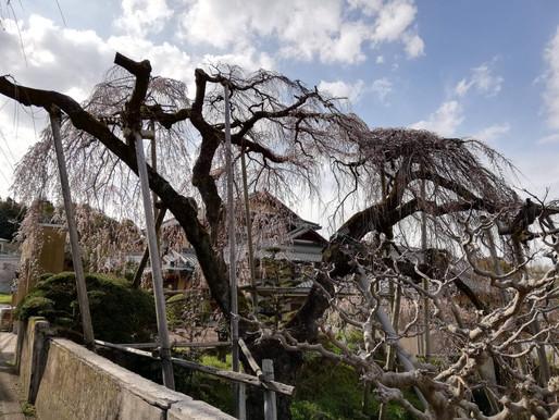 百滝桜(3/21開花の様子)