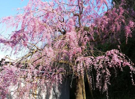 今年のJihee桜