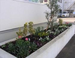 事務所前の花壇にはオリーブ、宿根草と一年草を植えています