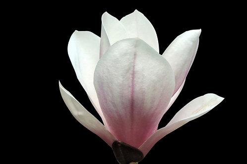 Jasmine & Magnolia