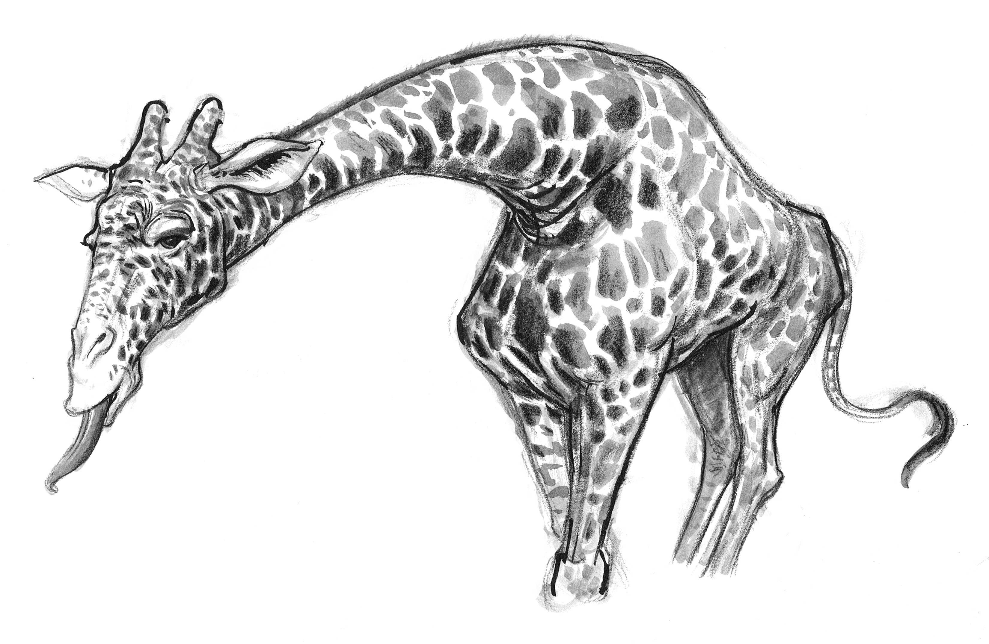 Giraffe Bending Eating FRT