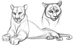 Cat Cougar & Head BW