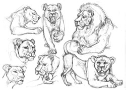 CAT Lioness action & Lion Head
