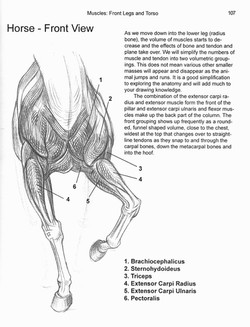 Muscles Front Legs Chapter 6