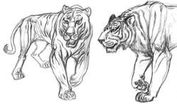 Cat Tiger Walk SIDE & FRT