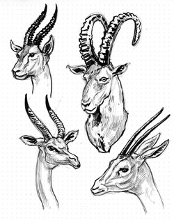 Antalopes Heads & horns