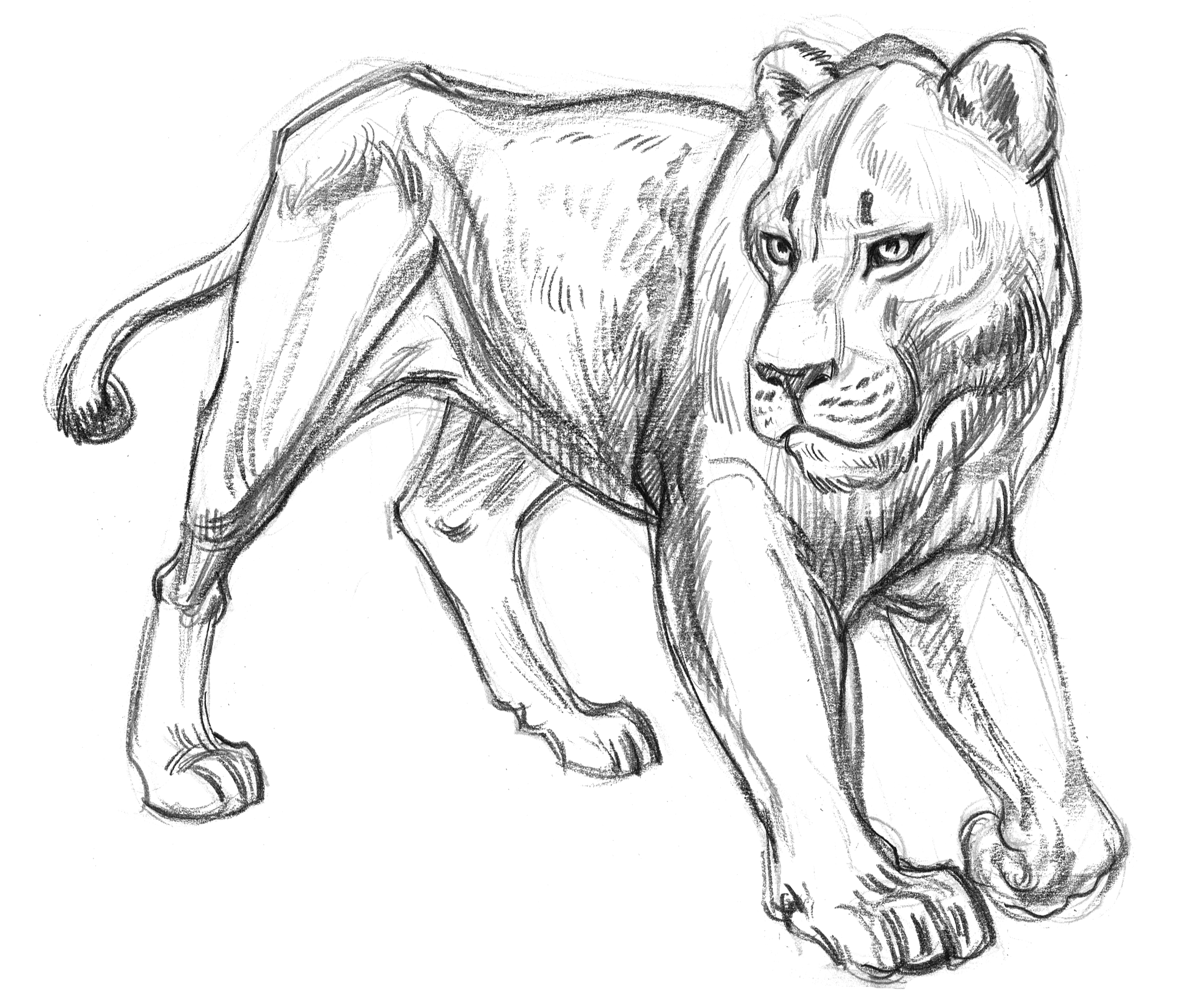Cat Lioness Turn Walk SIDE