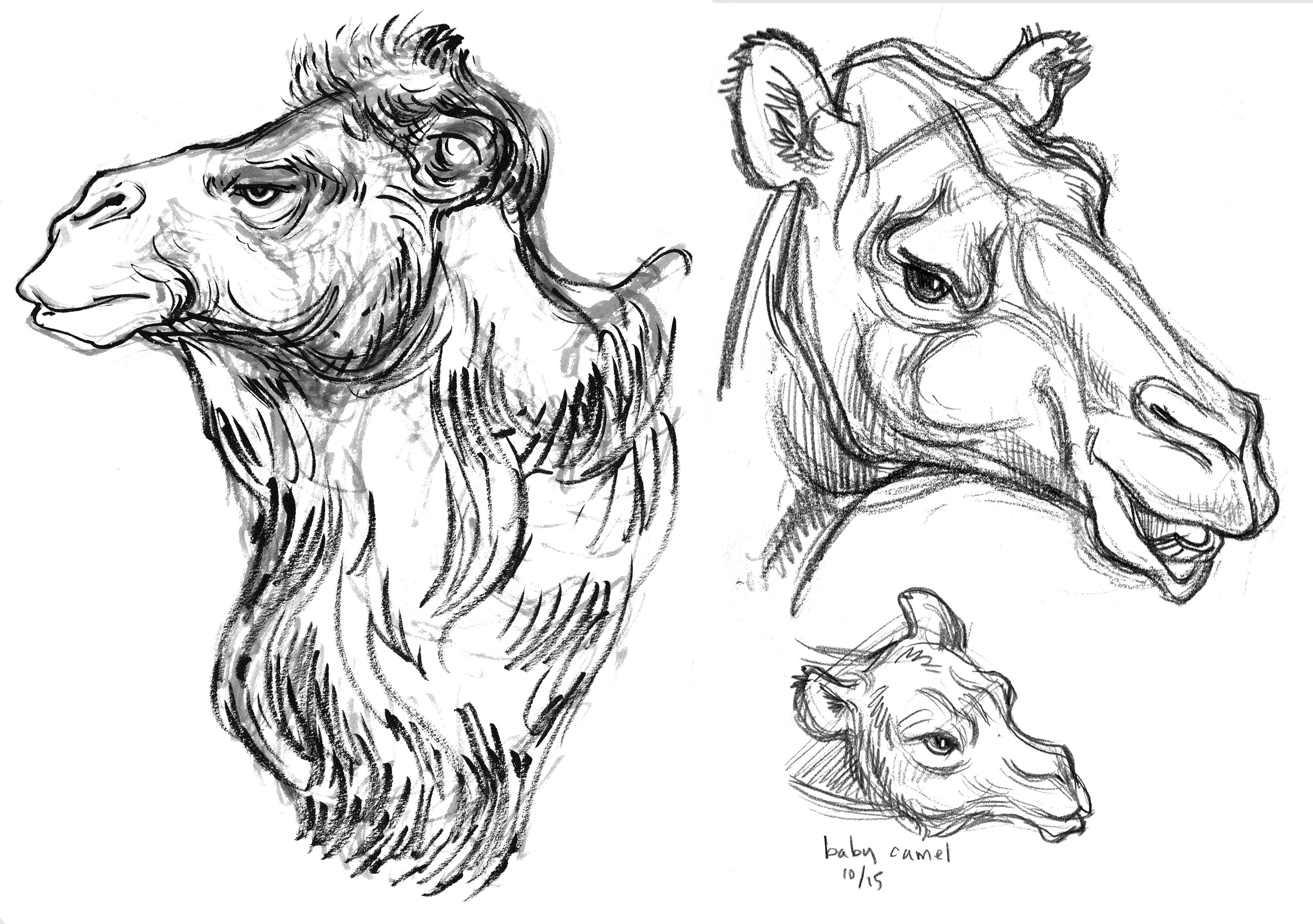 Camel Bactrian Dromdary Baby