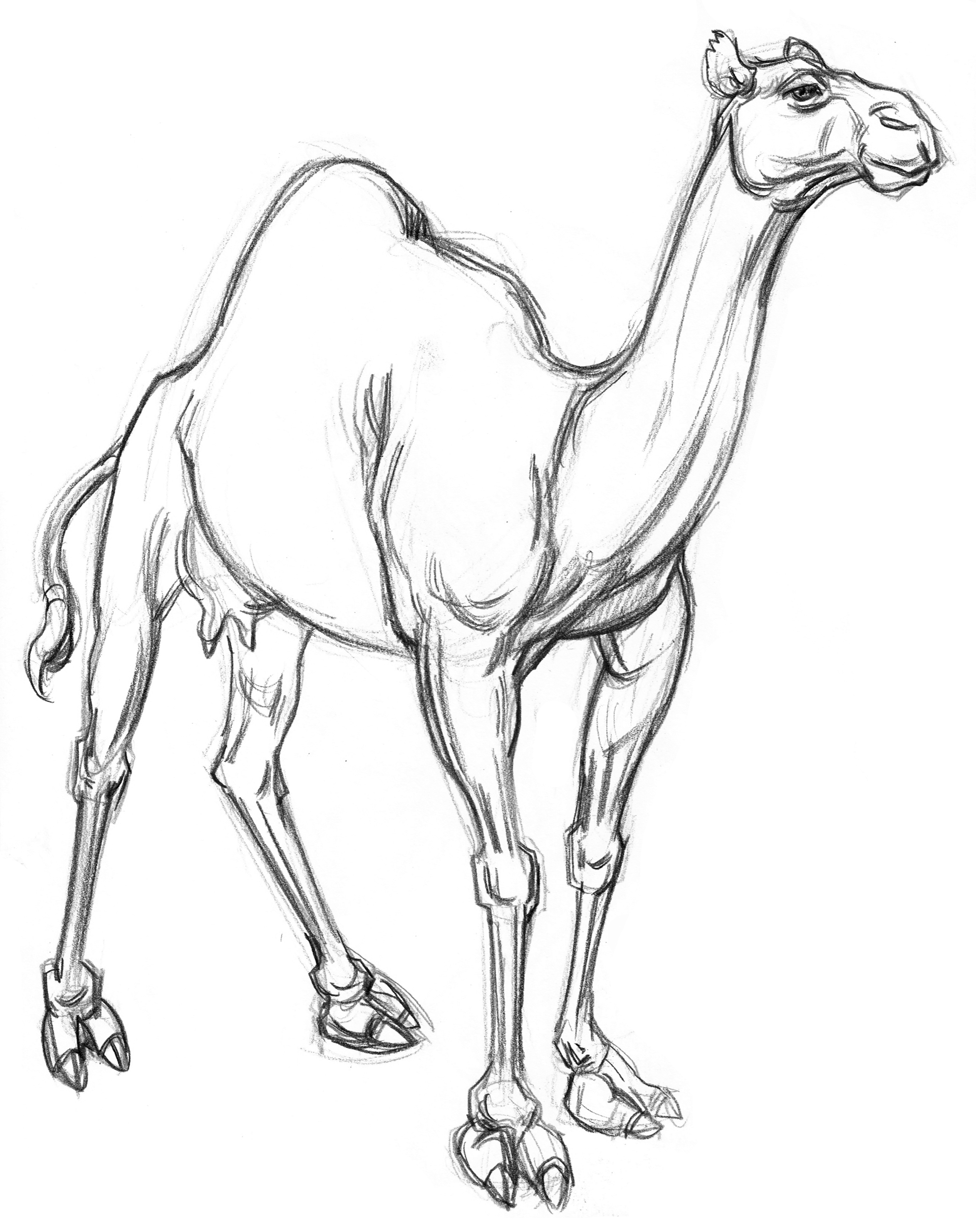 Camel Dromedary 3QRT FRT