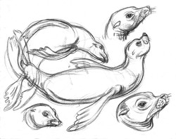 Sea Lions Body & Heads