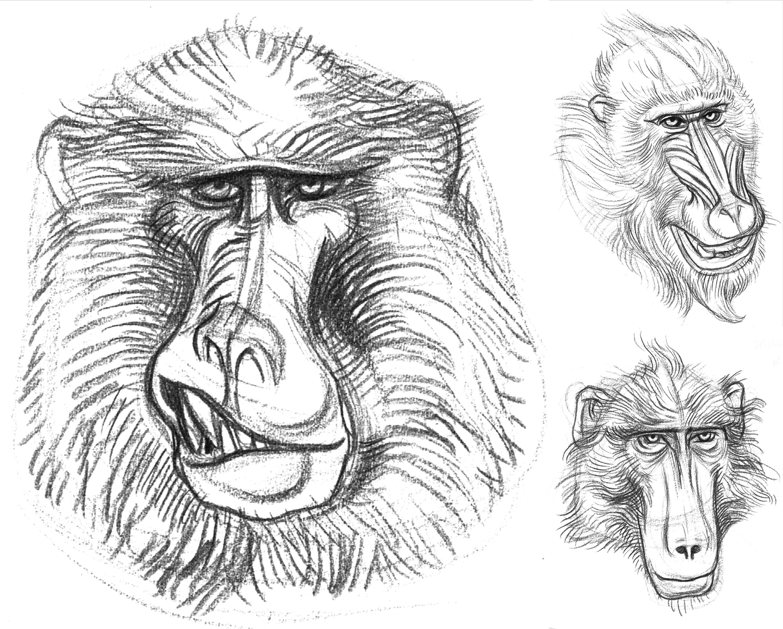 Ape Drill Snarl & Female