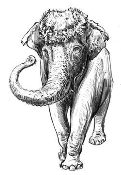 Elephant Becky FRT Dark