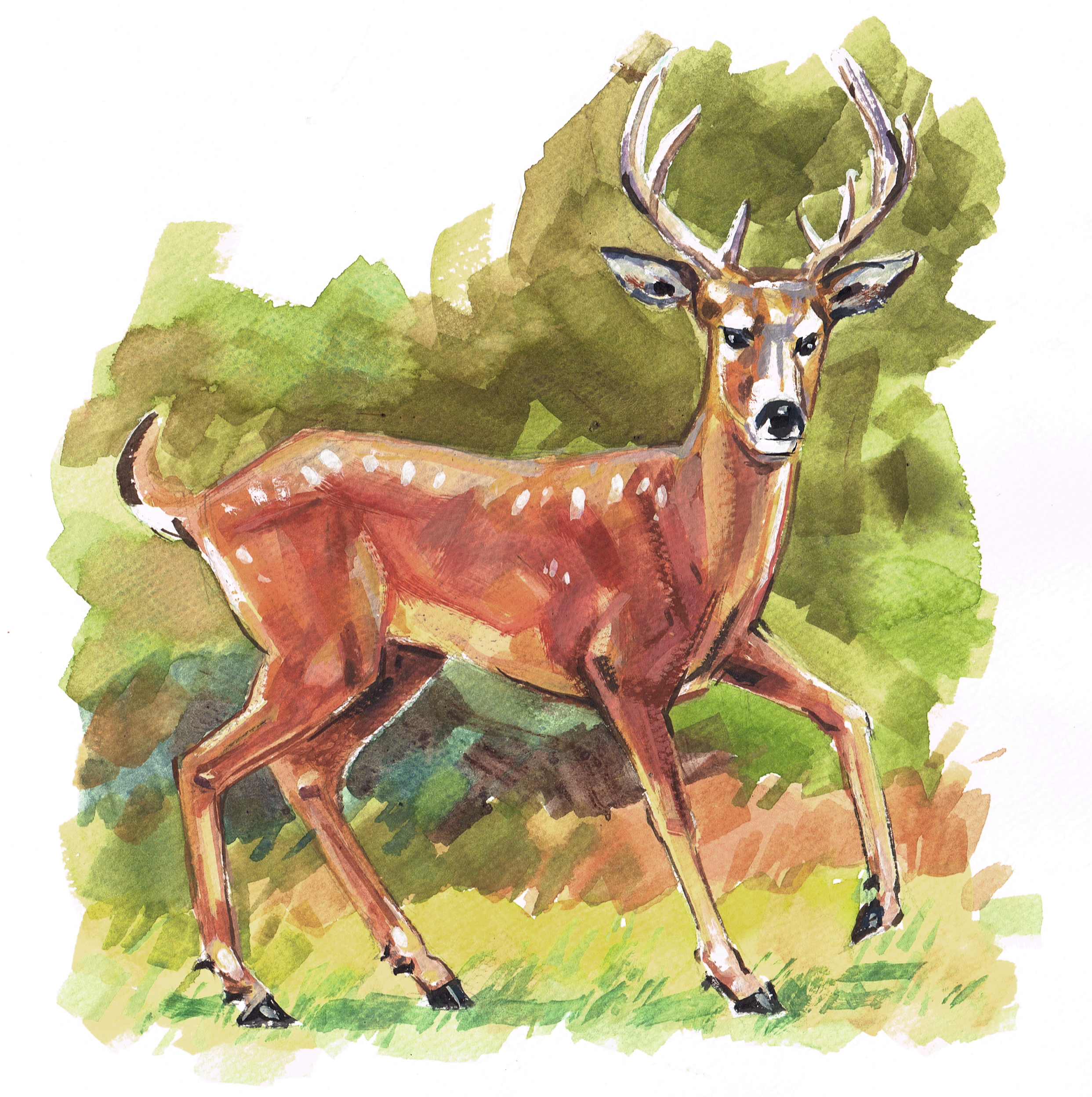 herb Deer Whitetail Color