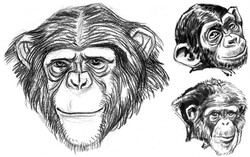 APE Chimps Grinning