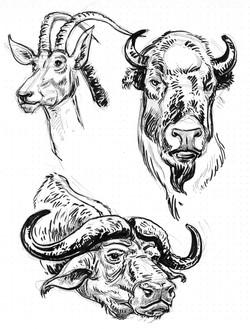 Buffalo Bison Water & Antalope
