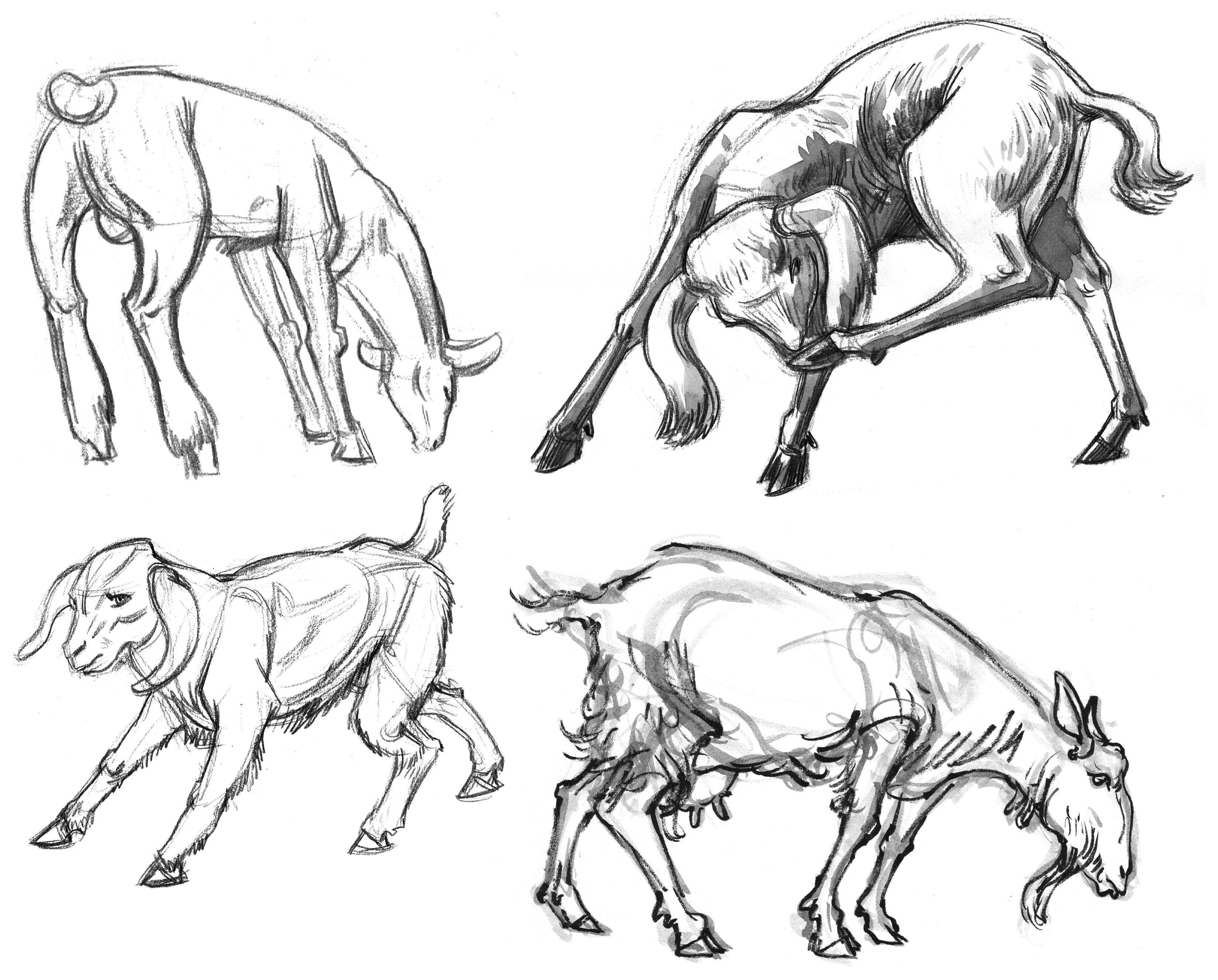 Herb Goats& Sheep Sketches