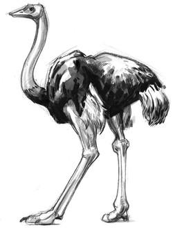 Bird Ostrich SIDE