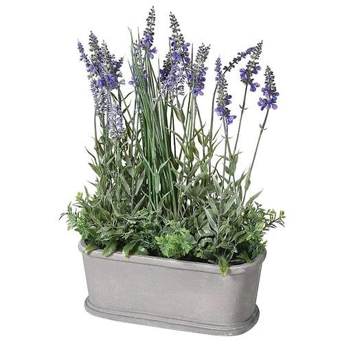 Lavender bush in pot